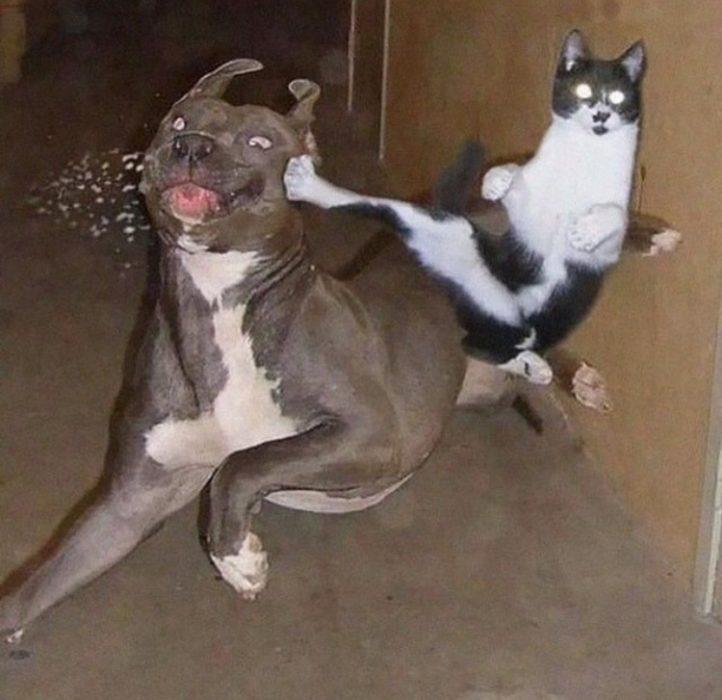 gato golpeando a perro