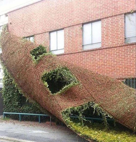 Enredadera que cubría las paredes de una escuela