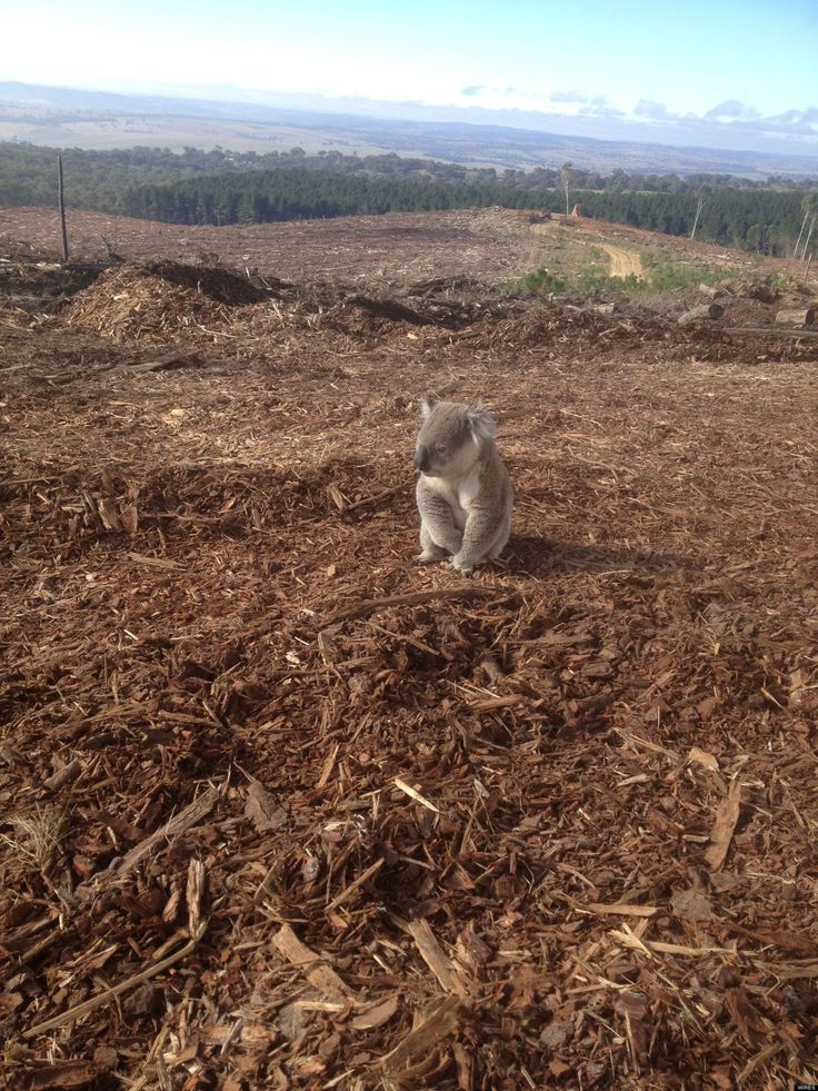koala sin casa
