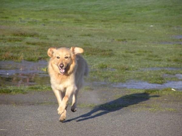 perro alfie corriendo feliz en la calle