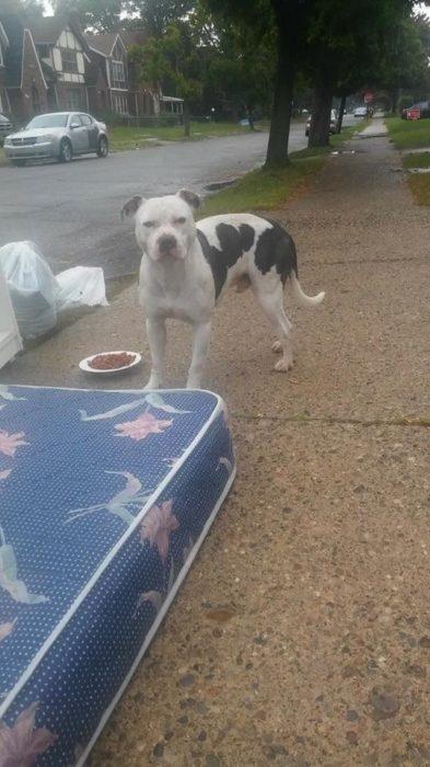 Perro pitbull blanco con manchas negras