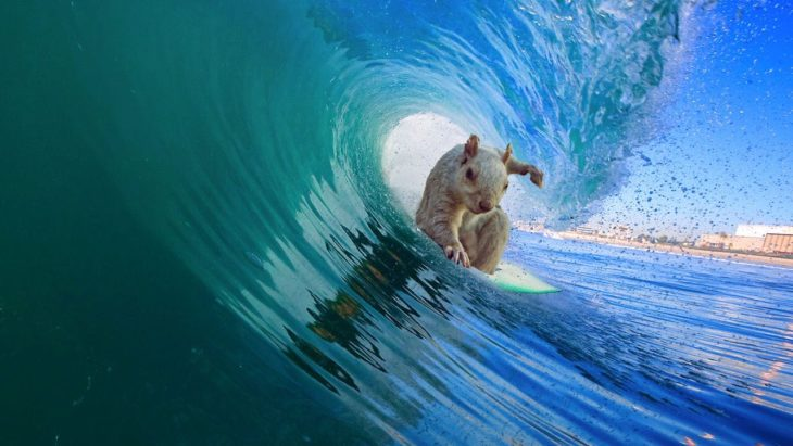 ardilla surfeando