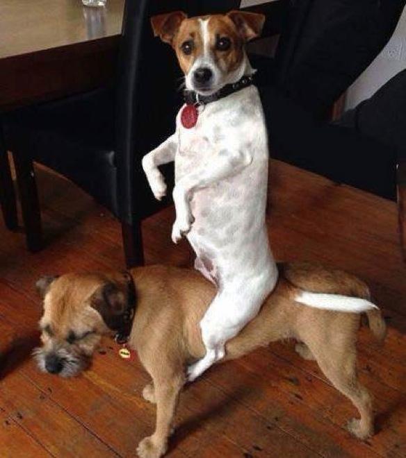 arre caballo perro