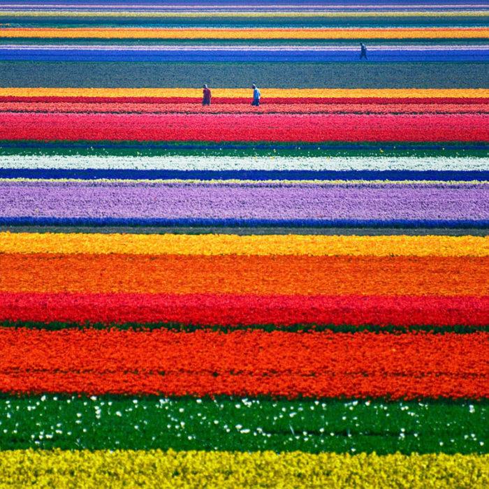 holanda campos tulipanes
