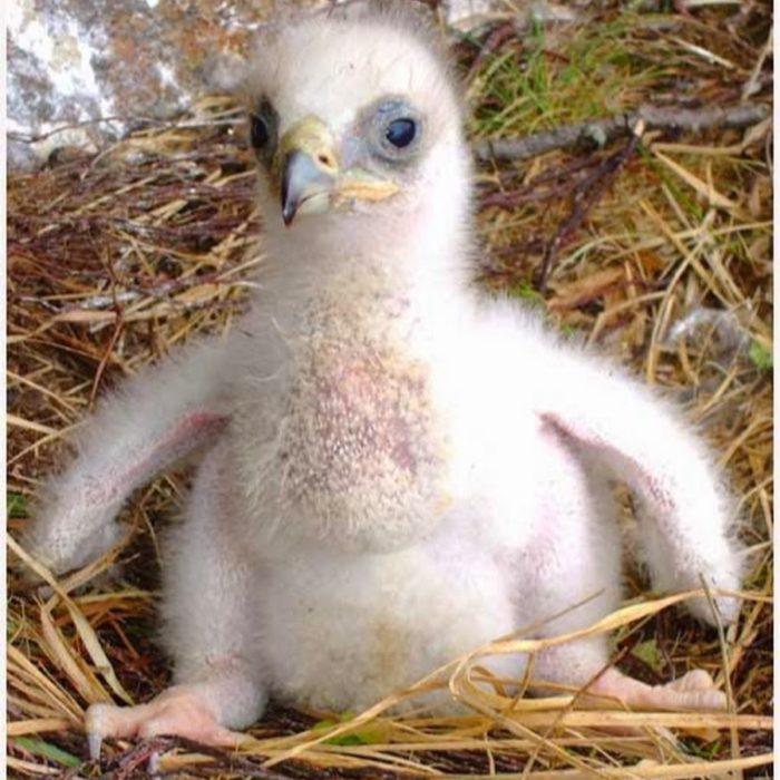 bebé águila