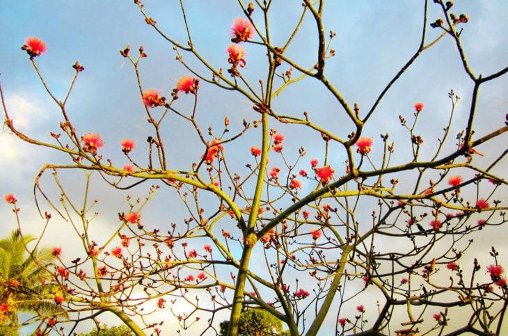 árbol coral