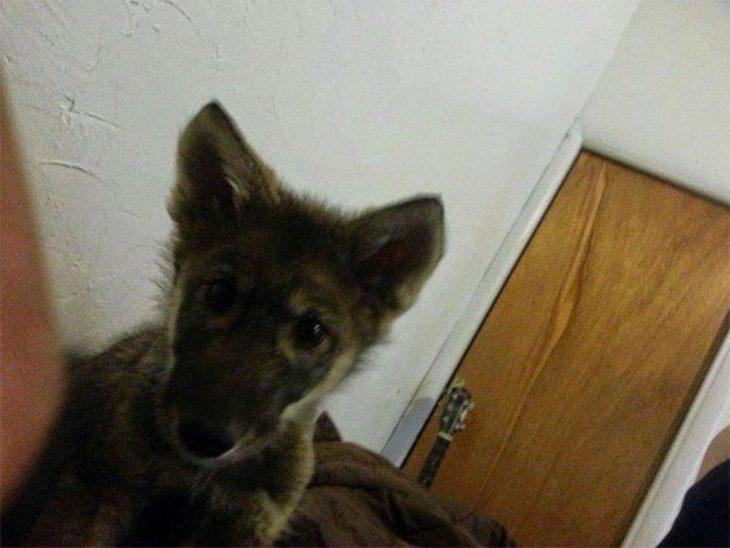 Perro lobo cachorro con las orejas paradas