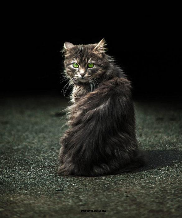 retrato de gato