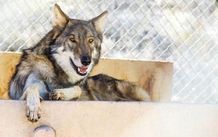 Perro lobo hermoso