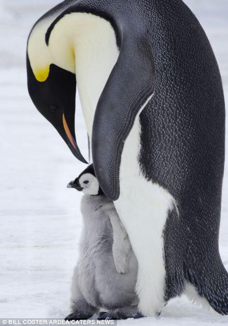 pingüino y su cría