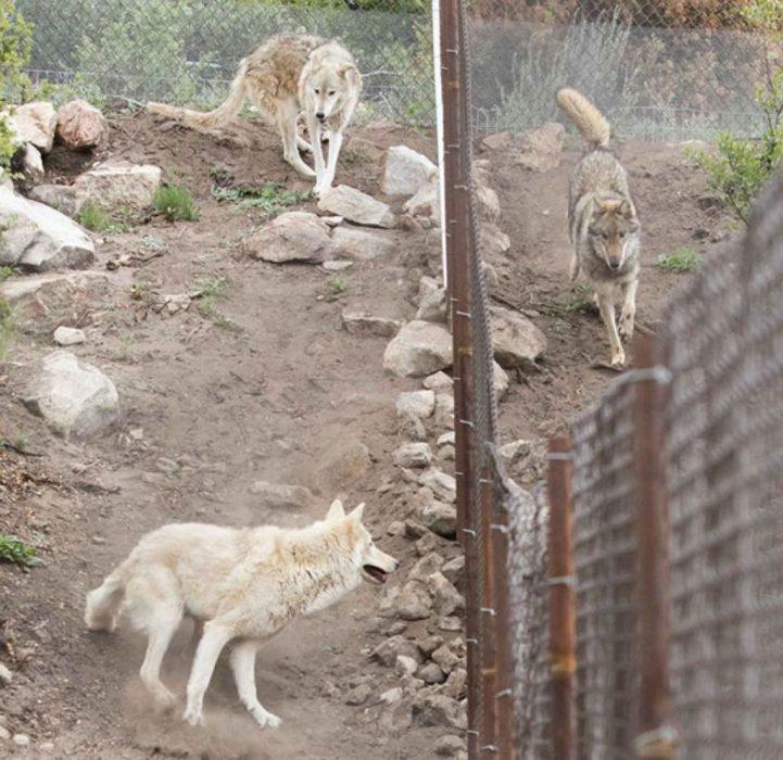 Perros lobos manada