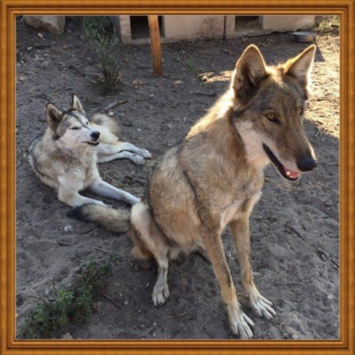 Perro lobo y perra loba