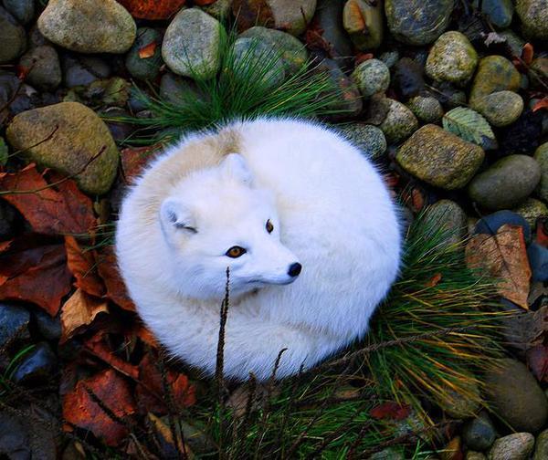 zorro blanco hecho bolita