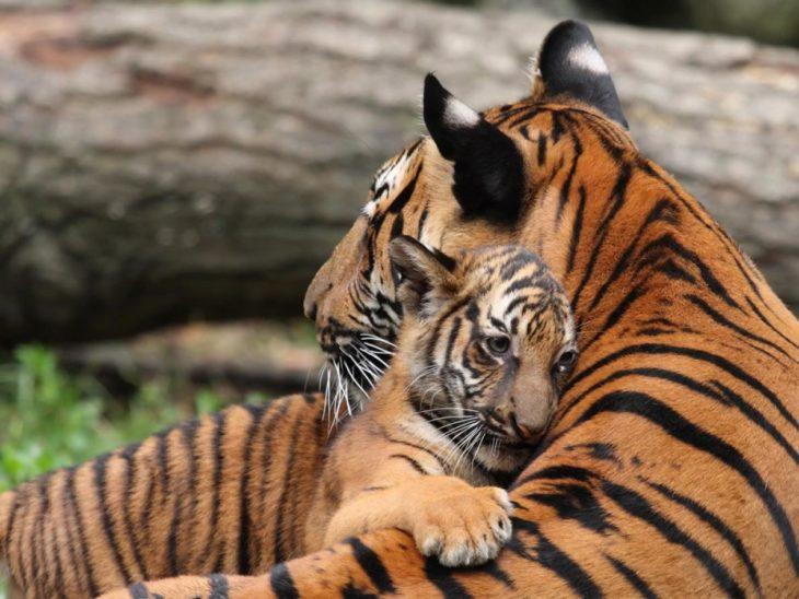 mamá tigre abraza a bebé tigre