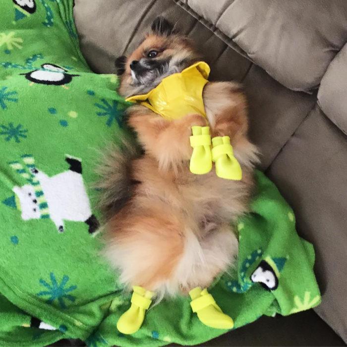 perrito con mascada y zapatos amarillos