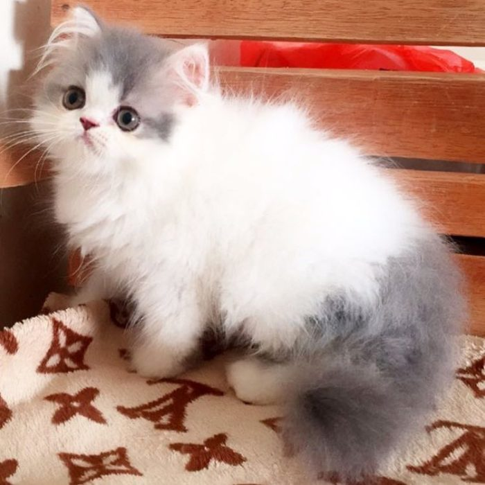 gatito blanco con manchas grises