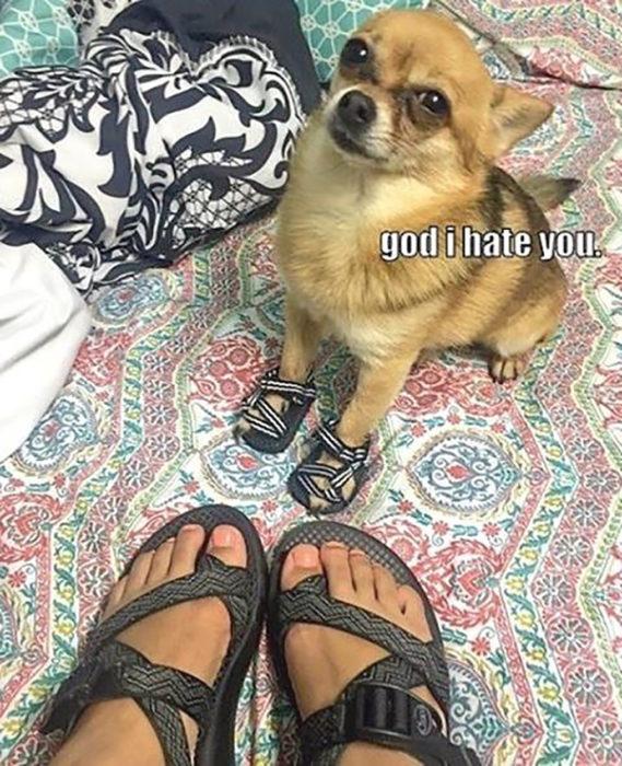 perro chihuahua con sandalias
