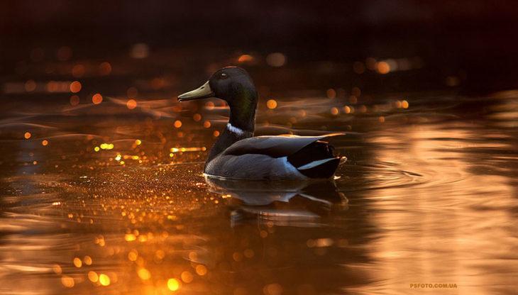 pato sobre el agua naranja