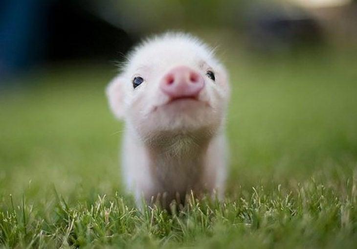 bebé cerdo
