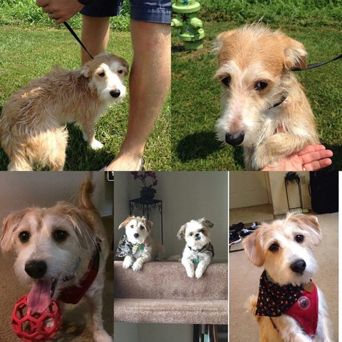 perrito de raza pequeña antes y después de ser adoptado