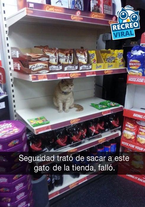 gato en estante de tienda
