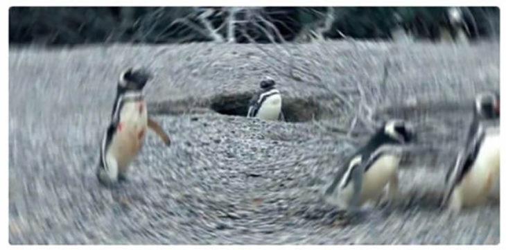 tres pingüinos salvajes