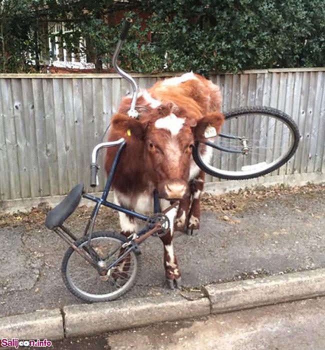 vaca con la cabeza atorada en una bici