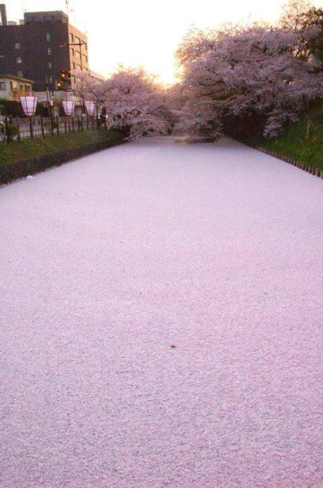Canal cubierto de pétalos de cerezo