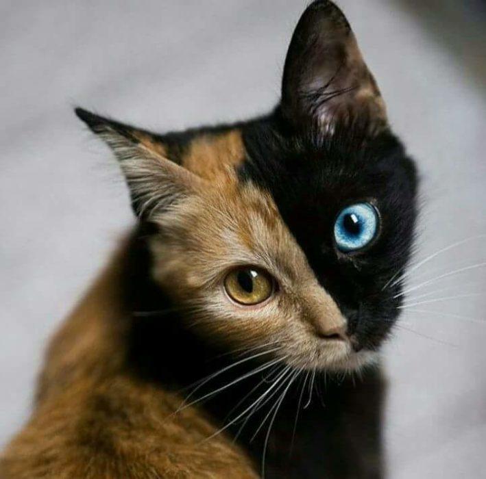 gato de dos colores de pelaje y ojos
