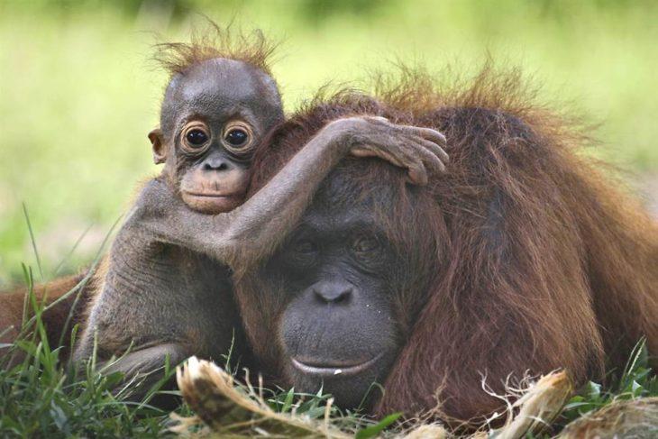 oragután mamá y bebé