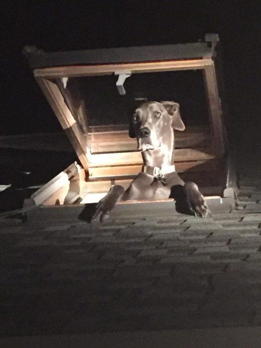 gran danés se asoma por el techo de una casa