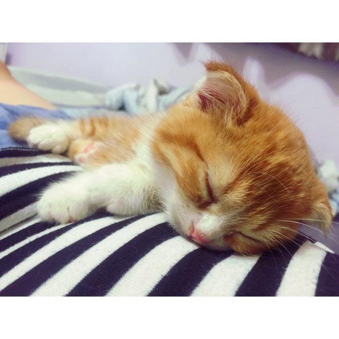 gato color miel dormido