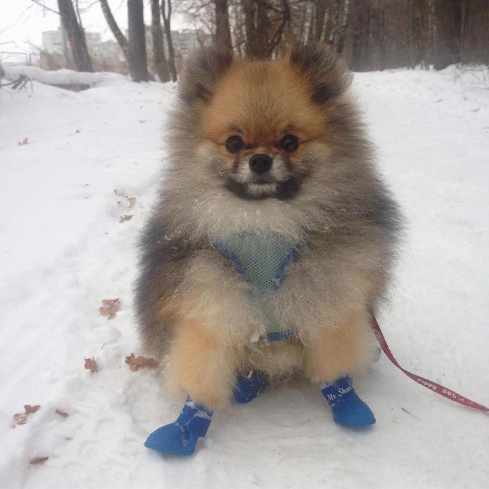 perro con pelaje esponjoso y zapatitos en la nieve