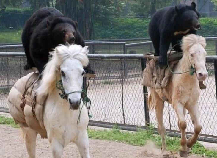 osos montados en caballos