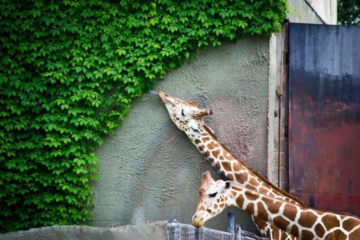 jirafas comiendo dejan una fracción de círculo sin césped