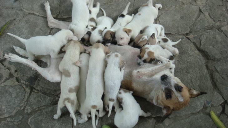 perrita amamantando a sus cachorros