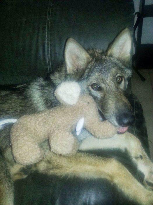 Perro lobo con un elefante de peluche