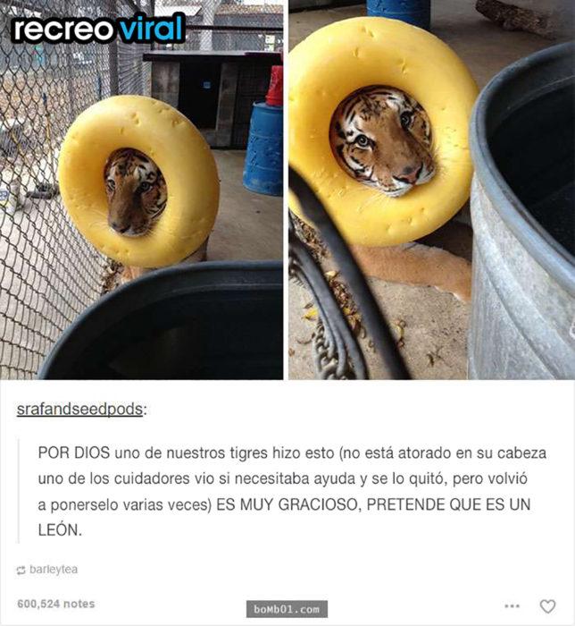 tigre con una dona amarilla en la cabeza