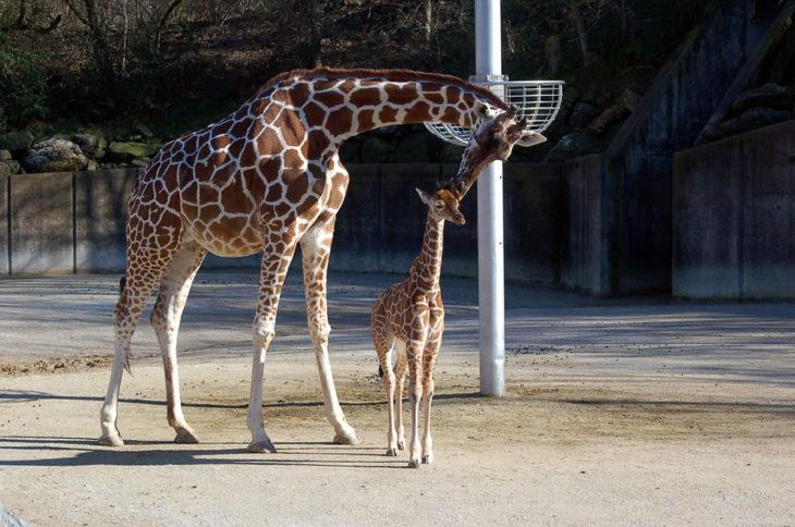 jirafa mamá y su bebé