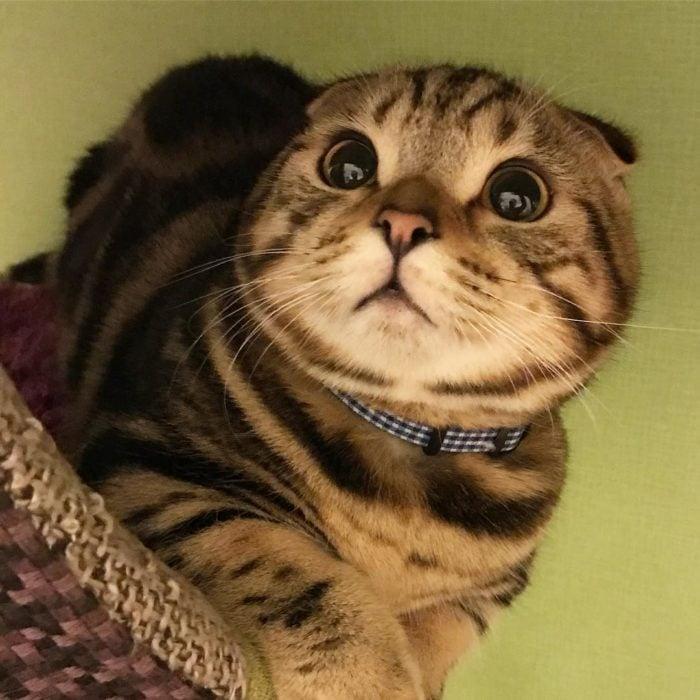 gato gris con rayas