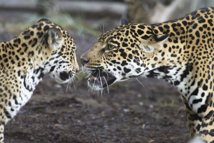 jaguar mama reprendiendo a su hijo