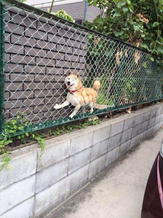 perro atorado entre una reja y los arbustos