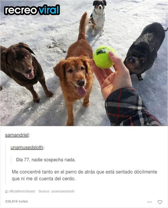 mano de hombre con pelota, tres perros y un cerdo