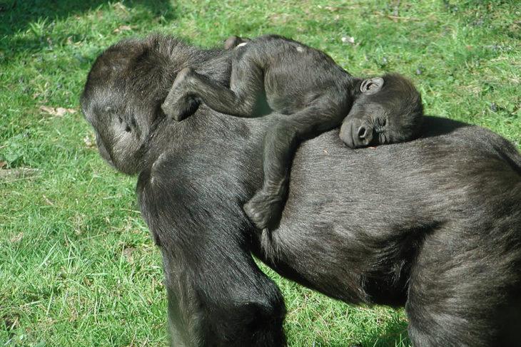 mamá simio cargando a su bebé