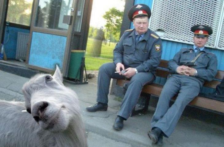 dos oficiales y una cabra