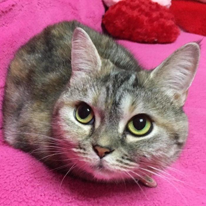 gato gris recostado en superficie rosa