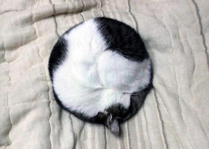 gato blanco y negro hecho bolita