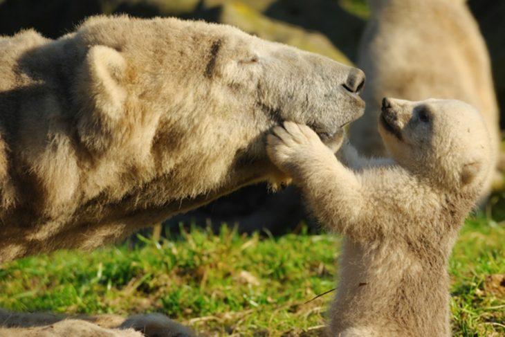 mamá oso polar y bebé oso polar