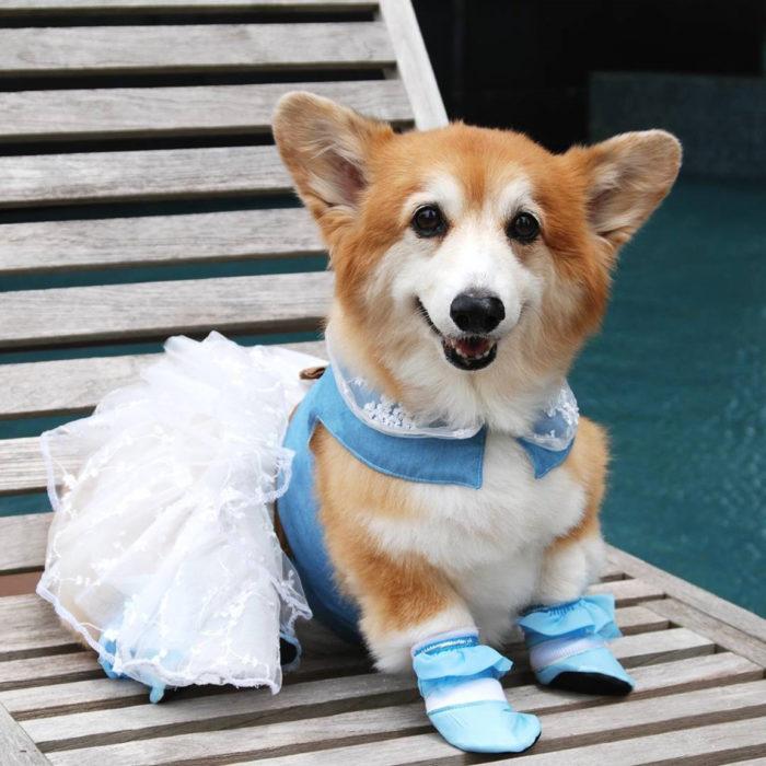 perrita con vestido y zapatos