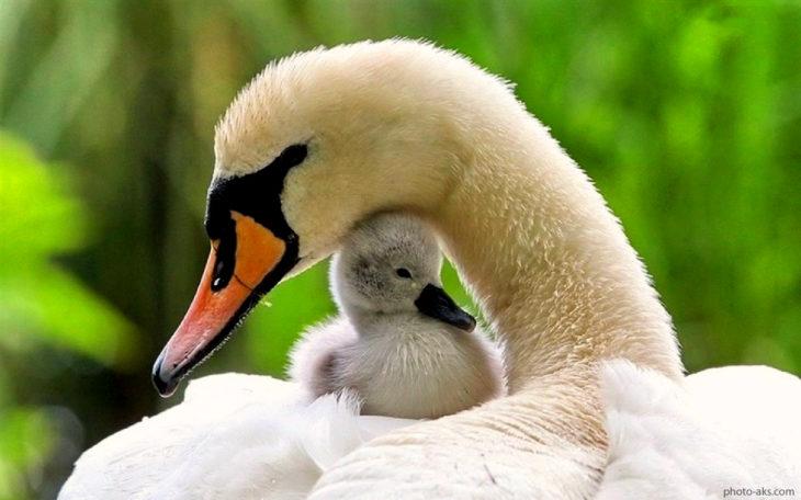 mamá pato con su bebé